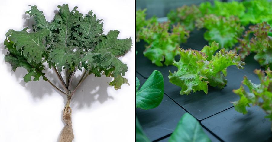 Tinggalkan sayur disembur racun perosak. Ini sayur-sayuran sebenar yang kita boleh cuba